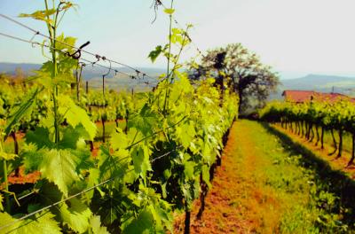 Thumbnail Wine tasting experience in Maremma Toscana at Mambrini Winery