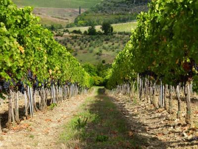 Thumbnail Walking wine tour in the vineyards at Ruffino Winery