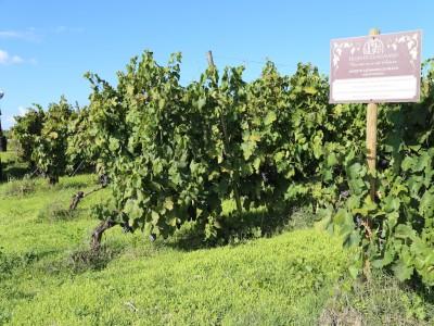 Thumbnail Welcome to Salento! Wine tasting at Feudi di Guagnano