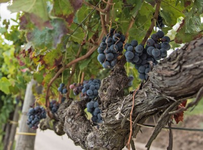 Thumbnail Irpinia Wine Experience at Tenuta Cavalier Pepe
