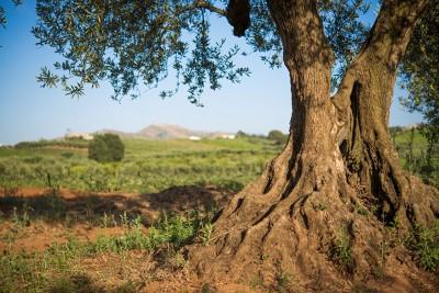 Thumbnail Let's harvest olives: wine tasting and typical brunch