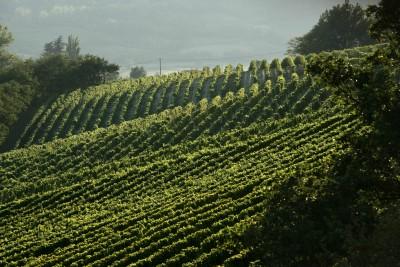 Thumbnail Vineyard walk and wine tasting at La Scolca